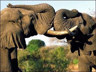 Ученые выяснили, как общаются слоны